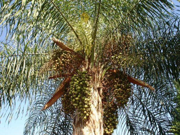 Resultado de imagem para bocaiuva palmeira
