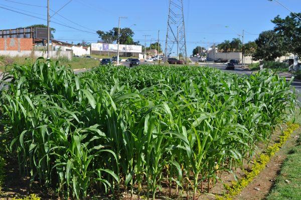 Soja, milho, algodão e girassol são plantados na Avenida das Torres para mostrar à população como é o plantio e o desenvolvimento das principais commodities de Mato Grosso
