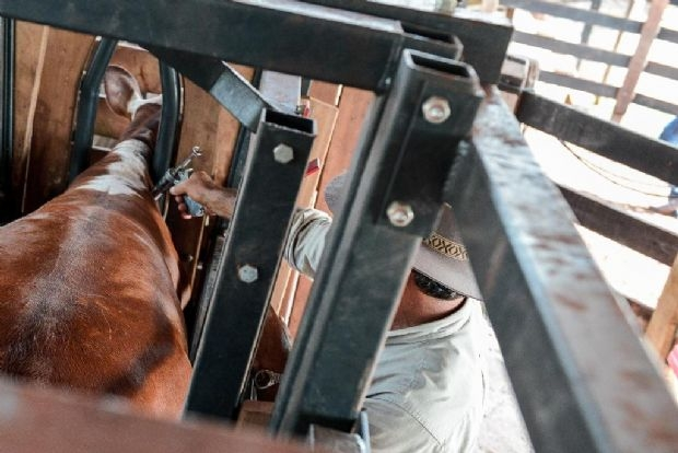 Segunda etapa da vacinação contra aftosa prevê atingir 13,6 milhões de bubalinos e bovinos