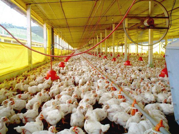 Indea cadastra granjas em Sorriso e realiza vigilância veterinária contra focos de doenças