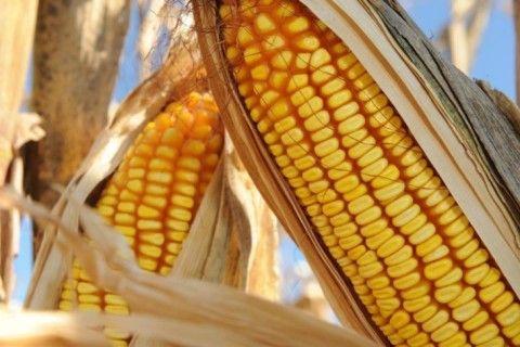Produção de milho é elevada em quase 700 mil toneladas em nova projeção para Mato Grosso