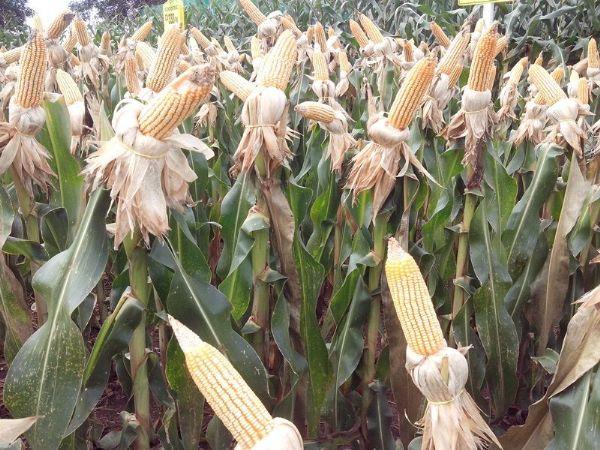 Revisão no milho aponta alta de 608 mil toneladas em Mato Grosso