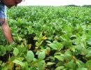 Aprosoja orienta produtores a eliminar soja guaxa e evitar prejuízos com a ferrugem asiática