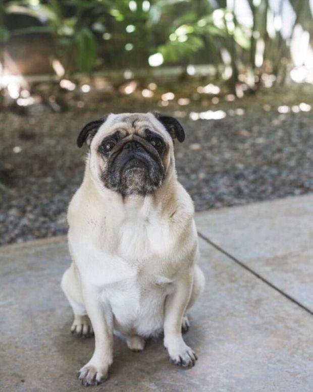Proprietária da Vila Konceito oferece R$3 mil de recompensa para quem encontrar Pug