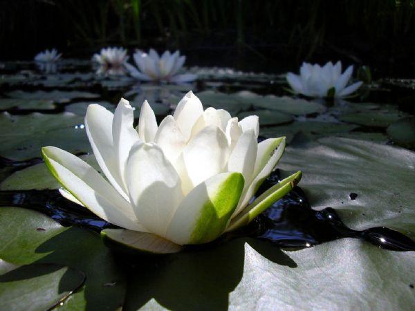 A flor Lótus Branco é usada como metáfora para chegar ao auto-conhecimento