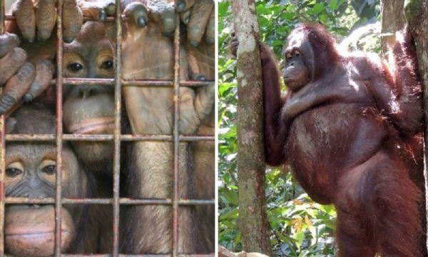 Orangutanes abusados sexualmente