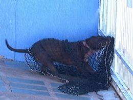 Pit bull ataca e mata o próprio dono na sua casa em Campo Grande (MS)