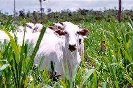 Sistema de rastreamento de gado vai passar por mudanças
