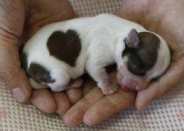 Irmão de cão com mancha de coração nasce com marca igual