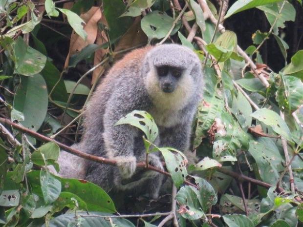 Nova espécie de macaco é descoberta na divisa entre Mato Grosso e Rondônia