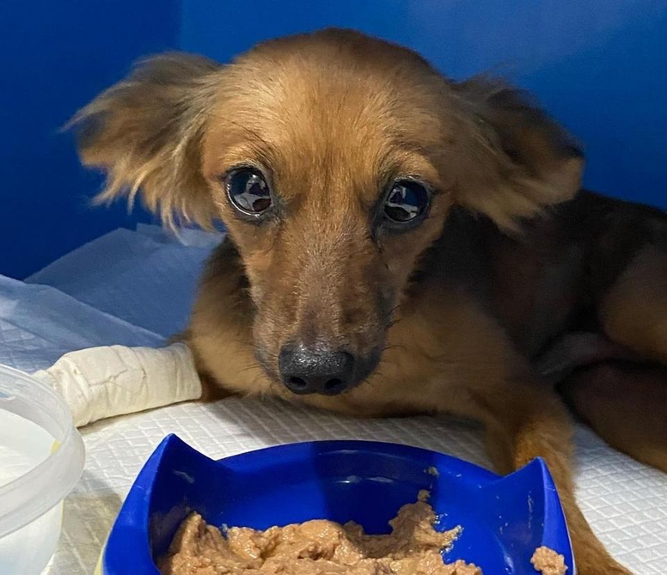 Depois de ser atropelado duas vezes em Cuiabá, cachorro consegue tratamento com ajuda das redes sociais