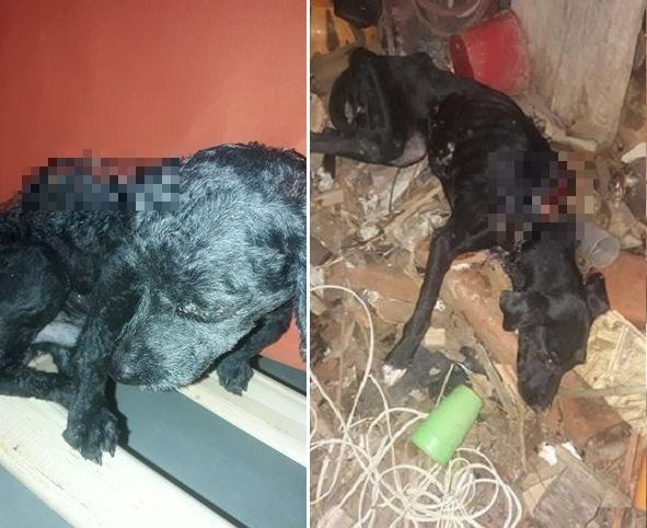 Dona de abrigo pede ajuda para tratar poodle queimado vivo e cadela em estado grave