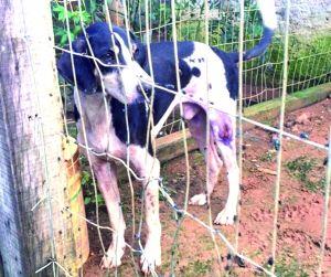 Doentes e mal alimentados, cães destinados à caça e comercialização são resgatados de canil
