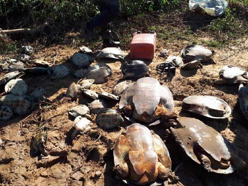 Estado flagra caça ilegal e devolve mais de 250 tartarugas-da-amazônia à natureza; veja vídeo