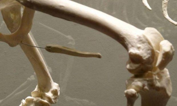 Por que o homem não tem osso no pênis como outros mamíferos?