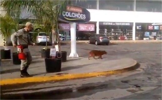 Capivara dá trabalho em bombeiros durante captura no estacionamento do Comper de Cuiabá;  veja