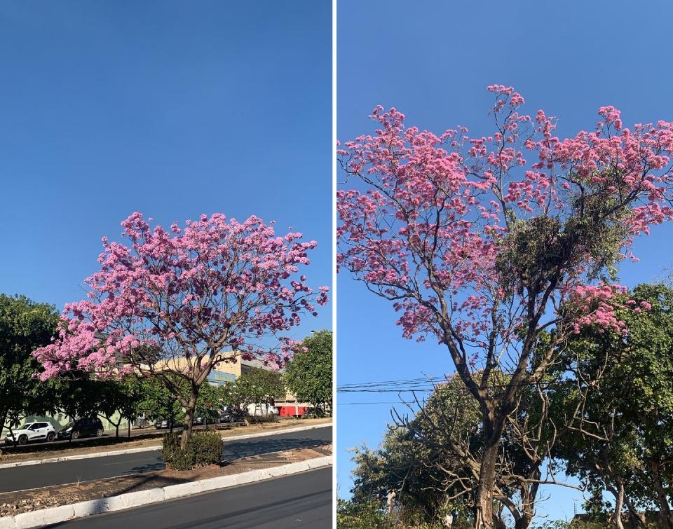 Ipês começam a florir e transformam a paisagem de Cuiabá; você sabia que eles são comestíveis?  Veja imagens