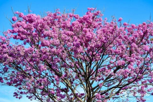 Florada de Ipês muda paisagem de Cuiabá; Avenida Mato Grosso ganha mais 80 árvores