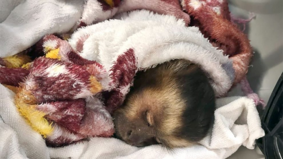 Macaco é resgatado por associação após ser atacado por cachorros e sofrer cortes nas patas