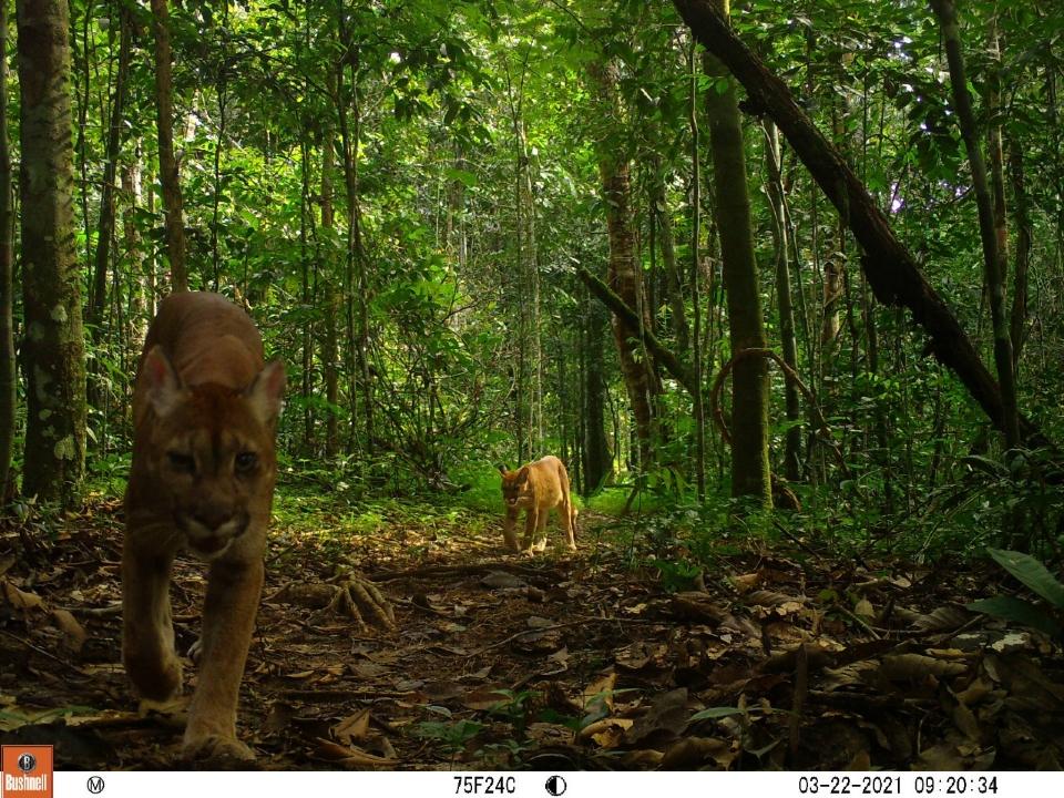 Sinop Energia celebra resultados de sistema de monitoramento na preservação de animais da Floresta Amazônica