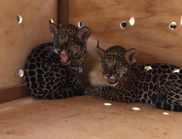 Sema resgata dois filhotes de onças-pintadas encontrados por funcionários de propriedade rural