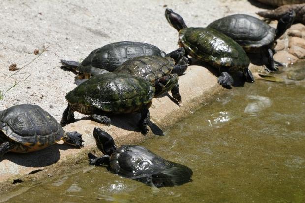 Após deixarem berçários, 7 mil filhotes de tartarugas são soltos no Rio Araguaia