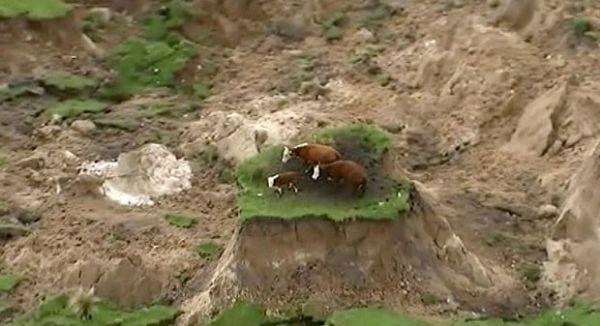 Vacas ficam 'ilhadas' após terremoto na Nova Zelândia