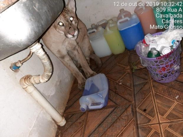 Onça invade residência em MT e moradores confundem animal com cachorro;  fotos e vídeos