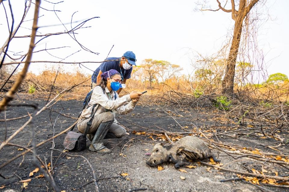 Pesquisa aponta macaco-prego como espécie com maior mortalidade durante os incêndios no Pantanal em 2020