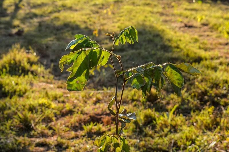 Programa irá plantar mudas correspondente ao número de mortos por Covid-19 em Mato Grosso