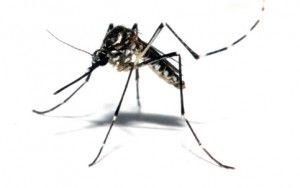 Pernilongo não transmite o vírus Zika