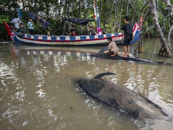 Oito baleias morreram depois de um grupo encalhar na praia de Probolinggo, ao leste da província de Java, na Indonésia, nesta quarta-feira (16)
