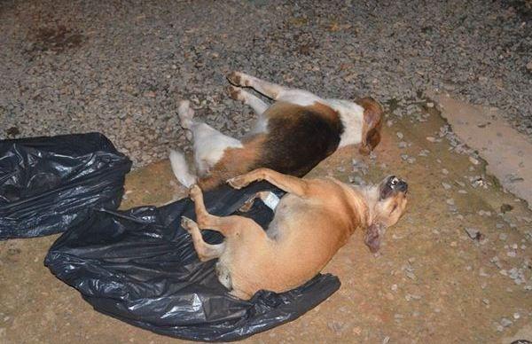 Dez cães morrem após ataque de enxame de abelhas em Sorriso