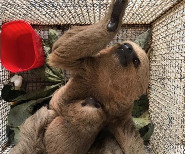 Bicho-preguiça filhote e adulto são resgatados pelo Corpo de Bombeiros em bairro