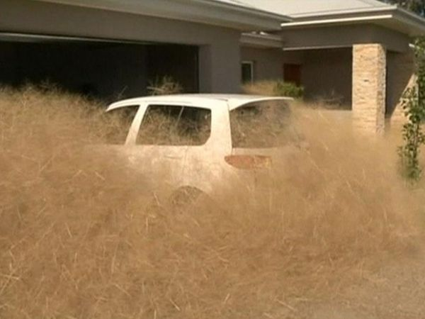 'Pânico cabeludo': a palha gigante que está invadindo casas na Austrália