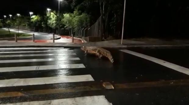 Vídeo  flagra jacaré atravessando via em frente ao Parque das Águas