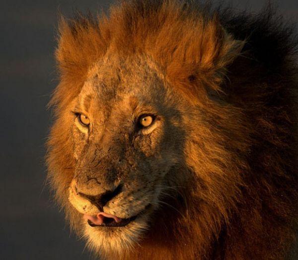 картинки льва swag