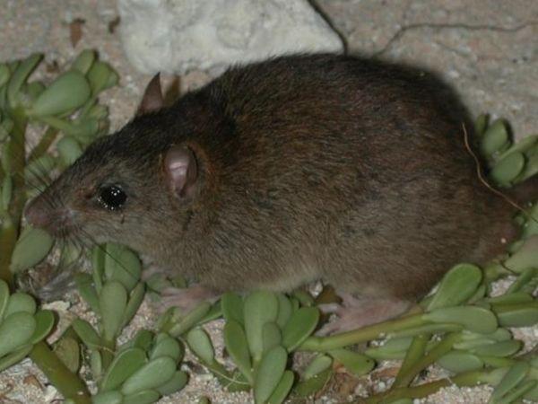 Roedor Melomys rubicola, vivia em Bramble, uma pequena ilha na Austrália