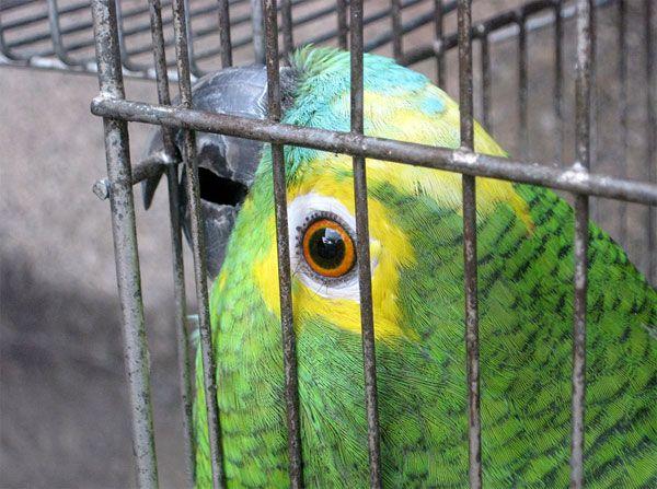 Mulher é detida por criar papagaios dentro de casa sem registro do Ibama