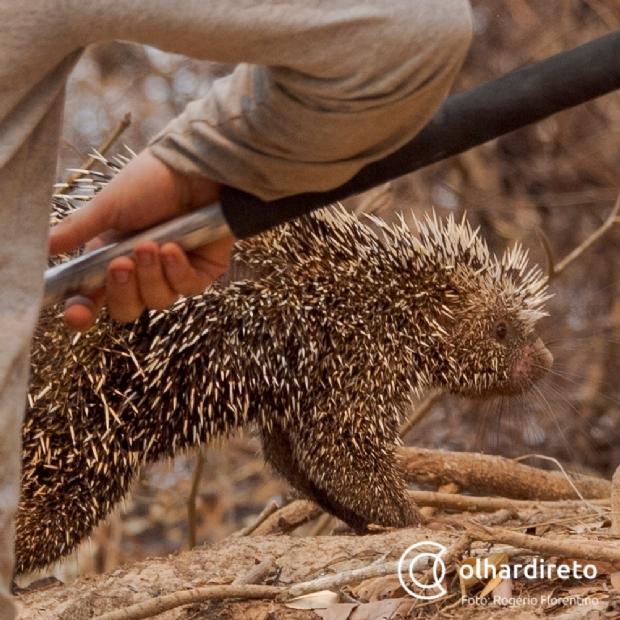 Veja resgate de ouriço-cacheiro em meio aos incêndios no Pantanal mato-grossense;  vídeo