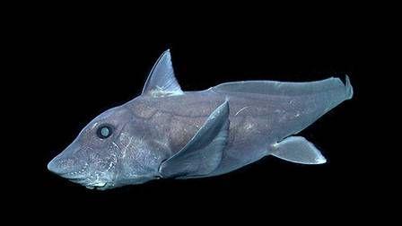 Tubarão fantasma é filmado pela primeira vez nas profundezas do oceano