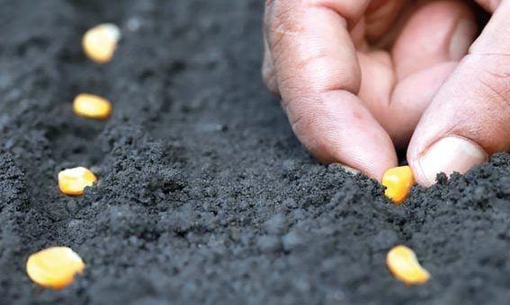Empresa é condenada por vender sementes que não germinaram causando prejuízo de R$ 200 mil